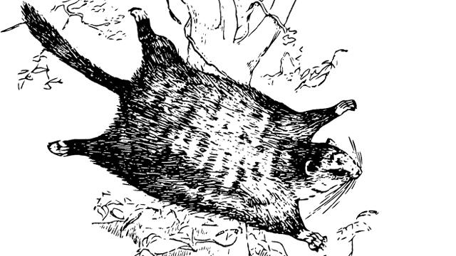 다섯 가지 재주를 가진 날다람쥐
